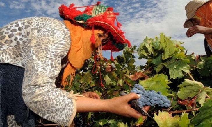 إنتاج العنب من إحدى المزارع المغربيةً