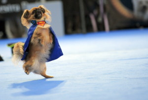 A dog performs during a comedy dog show