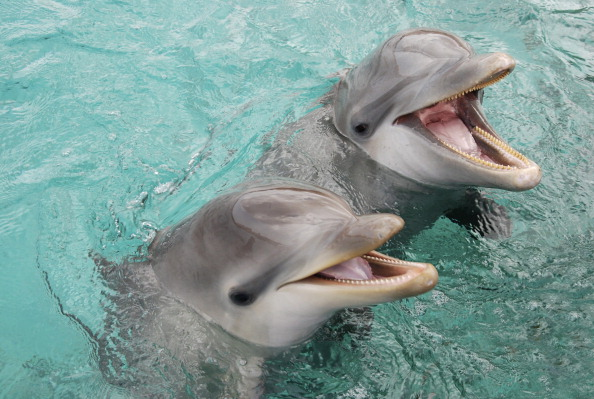 Baby Atlantic bottlenose dolphin (Tursiops truncatus) with mother Curacao, Netherlands Antilles