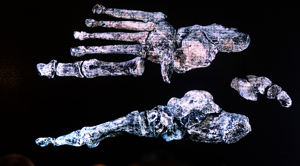 JOHANESBURG, SOUTH AFRICA - SEPTEMBER 10 (SOUTH AFRICA OUT): The discovery of a new species of human relative, Homo Naledia was unveiled at The Cradle of Human Kind on September 10, 2015 at Maropeng in Johannesburg, South Africa. Naledi was discovered in a hard to reach chamber in the Rising Star Cave which has led scientists to believe that the Hominids had a understanding of the finality of death. Naledi stood about 1,5m high, had a unique mix of primitive and modern features with a tiny brain about the size of an orange, a slender body and unusually curved fingers. (Photo by Denzil Maregele/Foto24/Gallo Images/Getty Images)