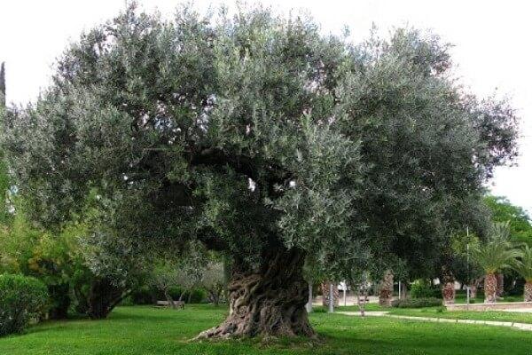 من اجمل الاشجار فى العالم شجرة الزيتون Vouves C%C3%B3mo-es-el-%C3%A1rbol-olivo