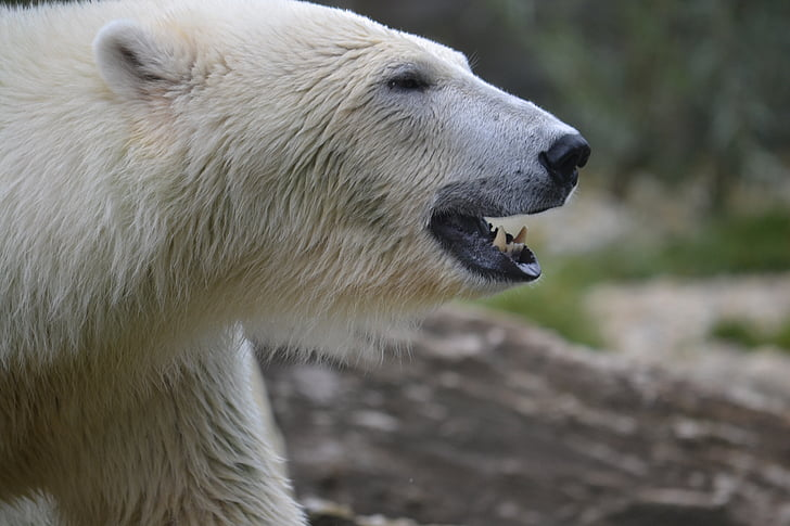 «البحث عن ميشا».. هذه قصة حياة أشهر أنثى دب قطبي في العالم